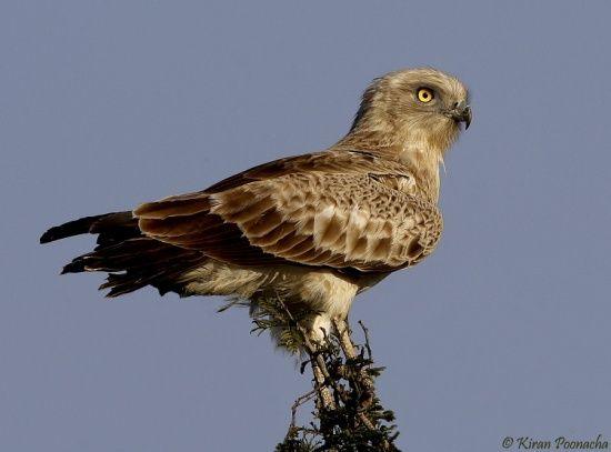 Bird Of Prey clipart spanish bird National Birds of National images
