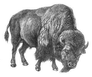 Bison clipart buffalo head Picture buffalo for clip Free