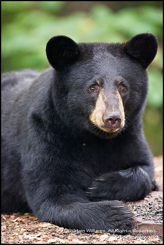 Black Bear clipart new mexico state West Bear Bears bears ~