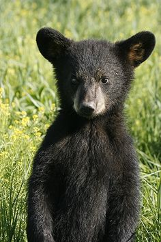 Black Bear clipart new mexico state And this  New Pin