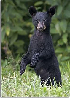 Black Bear clipart new mexico state Cub Mountain bear black bear
