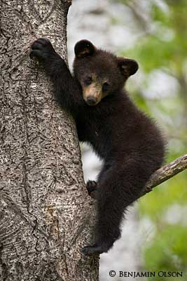 Black Bear clipart new mexico state Was black animal state bear