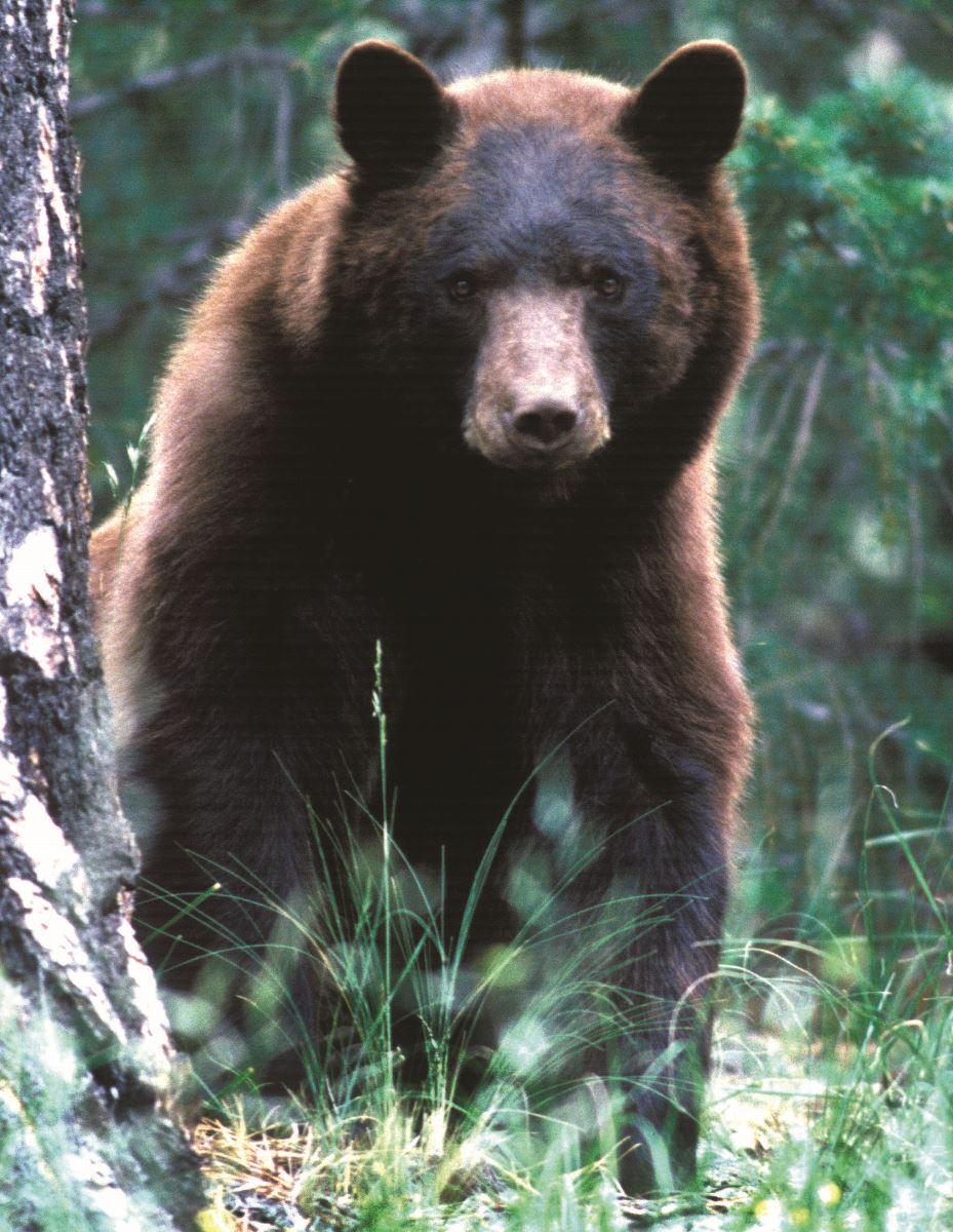 Black Bear clipart new mexico state Mammal NM state black bear