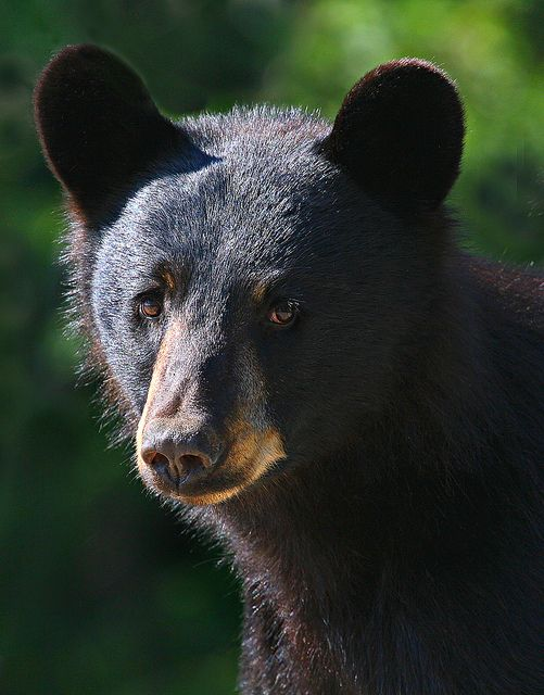 Black Bear clipart new mexico state Is Black Bear state mammal