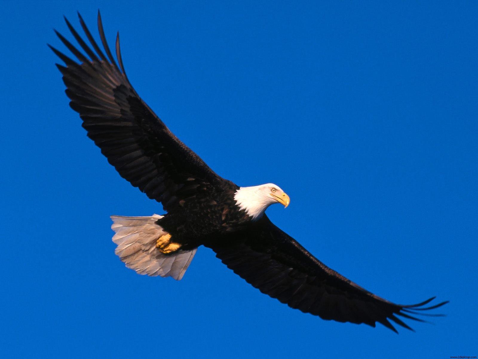 Black Eagle clipart blue Free Logo Clip Eagle Download
