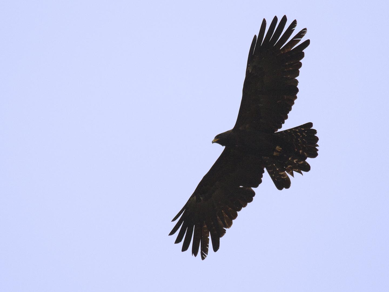 Black Eagle clipart soaring eagle Eagle Images best Clip >