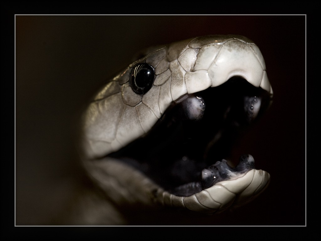 Black Mamba clipart open mouth Called mamba mouthed Snake the