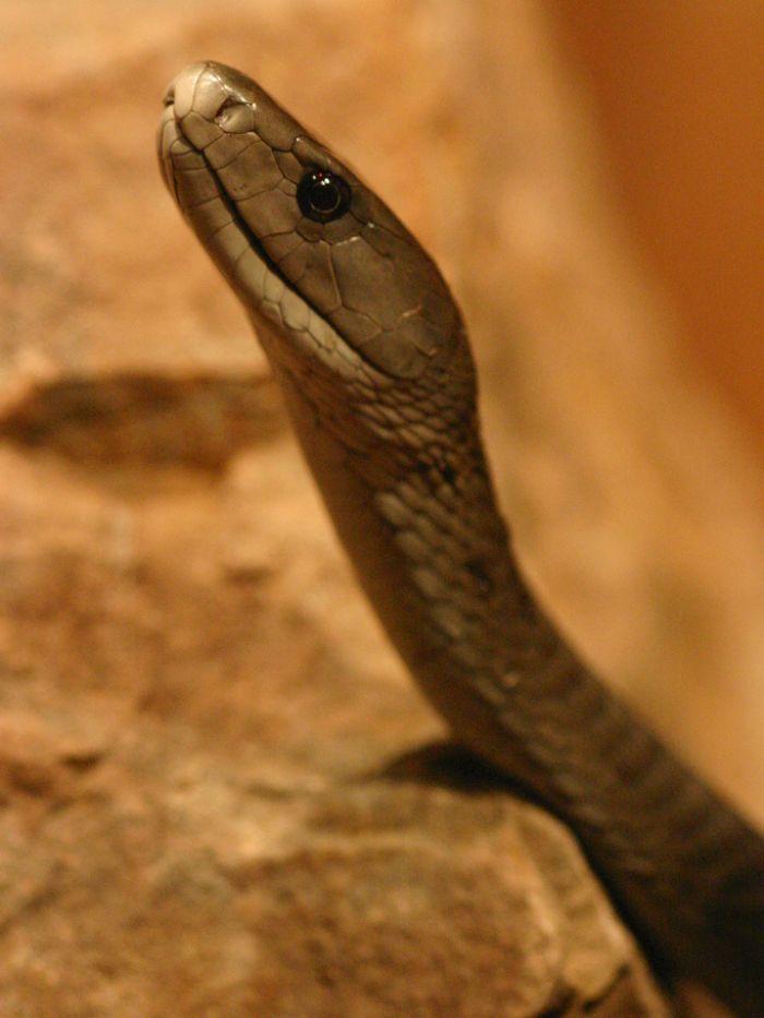 Black Mamba clipart snake eye Images mamba Pinterest snake best