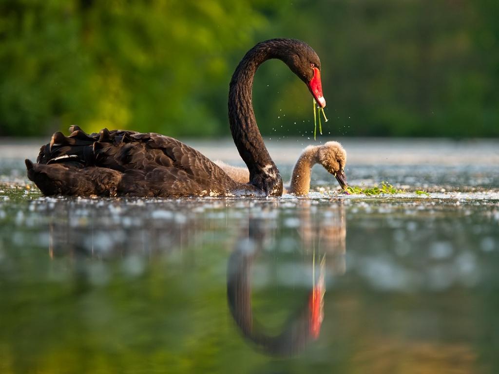 Black Swan clipart baby swan Swan Swan  Baby Baby
