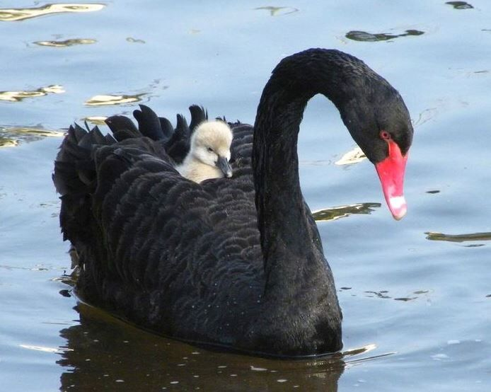 Black Swan clipart baby swan Tattoos: and Black  and
