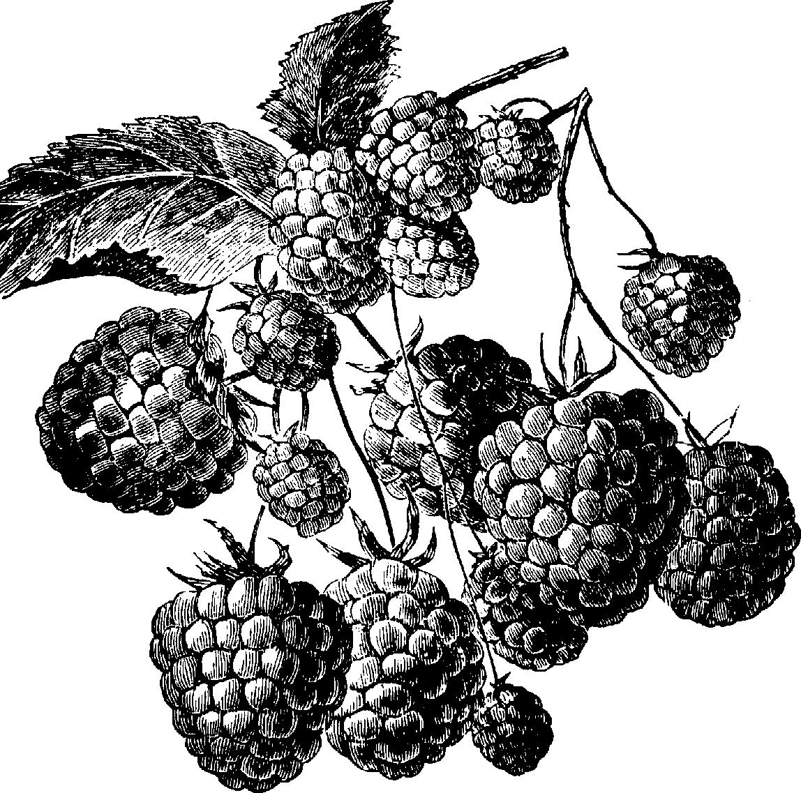 Raspberry clipart vector And clip Cliparts black white