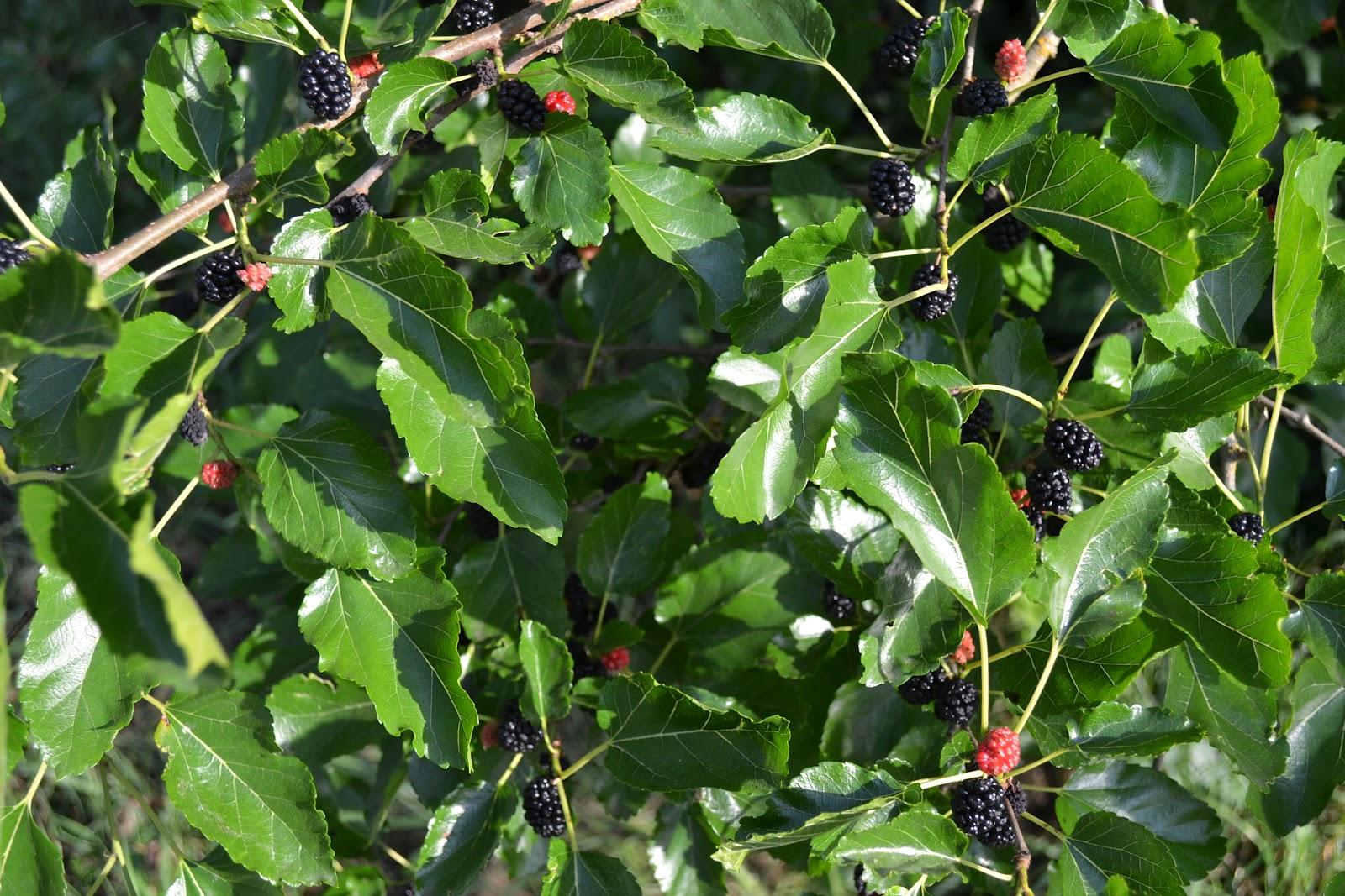 Bush clipart blackberry bush Blackberry bush 80136 Clipart BITNOTE
