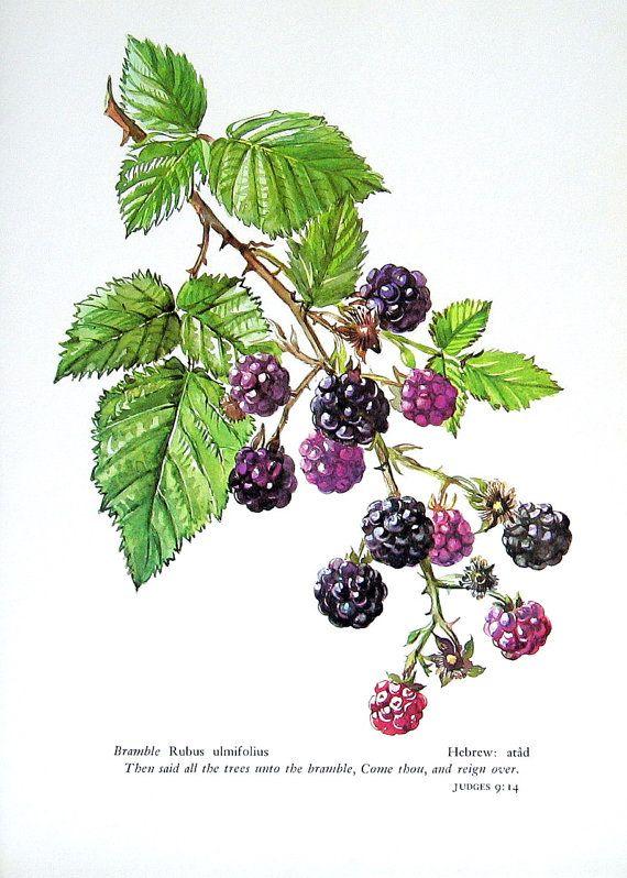 Bush clipart blackberry bush  Image result blackberry plant