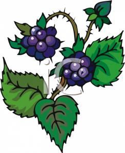 Blackberry clipart blackberry bush Blackberries Vine A On Picture