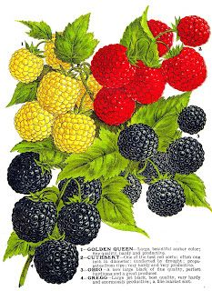 Raspberry clipart blackberry Vintage Berries from 85 Antique