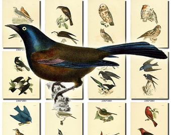 Blackbird clipart cartoon Clipart Harrier BIRDS Collection of