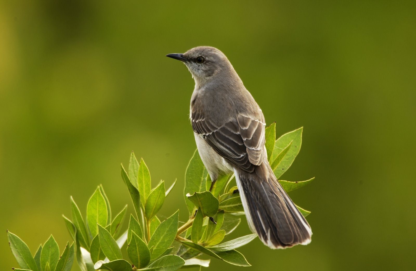 Blackbird clipart mockingbird Clipart mockingbird Dead clipart use