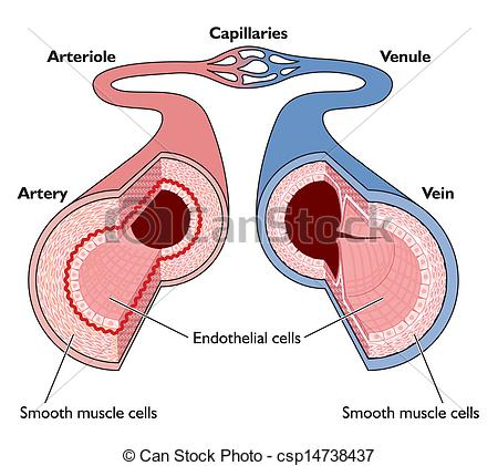 Blood clipart blood vessel Blood artery blood csp14738437 Vectors