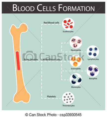 Blood clipart bone marrow Blood bone of ( csp33930545
