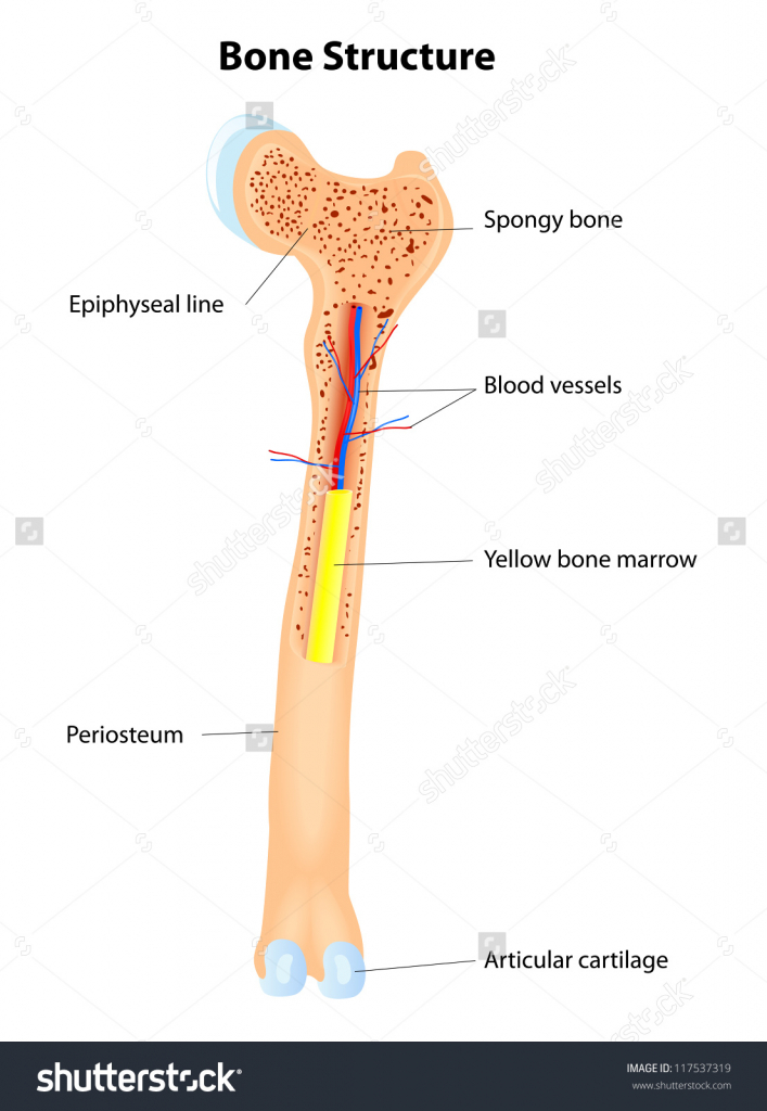 Blood clipart bone marrow  HUMAN Images LESSON Marrow