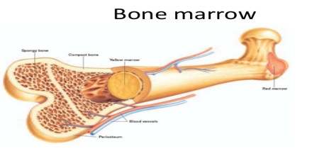 Blood clipart bone marrow The The the cells marrow