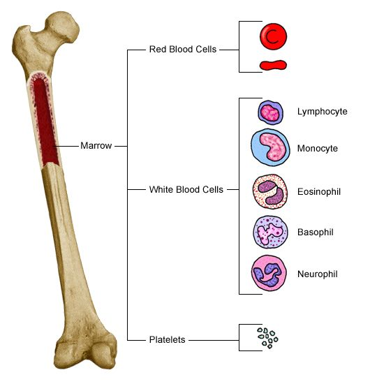 Blood clipart bone marrow Bone Marrow 49 images Marrow