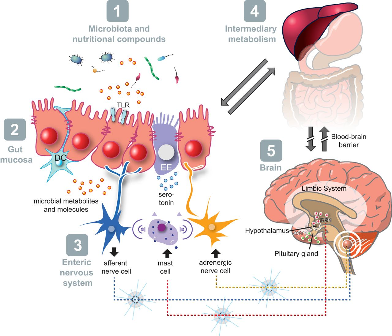 Blood clipart gut Of and Homeostasis potential gut