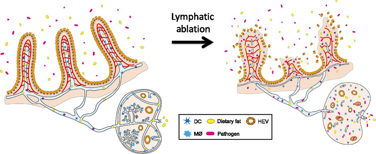 Blood clipart gut Role from Protective sepsis the