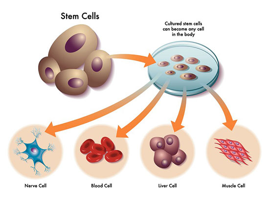 Blood clipart muscle cell Therapy? can cells cells rise