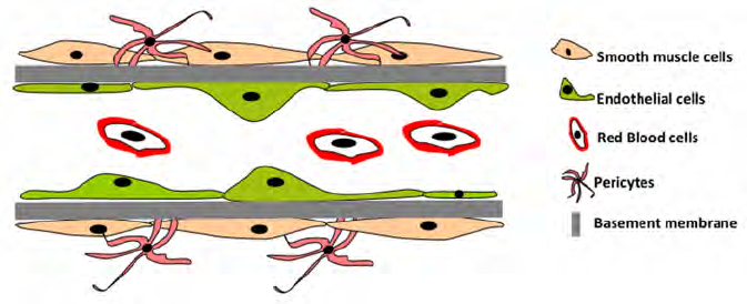 Blood clipart muscle cell A Endothelial During blood the