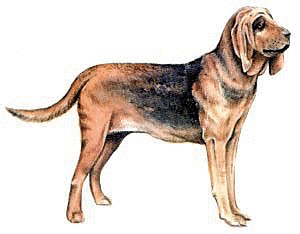 Bloodhound clipart Bloodhound Free Photos Clipart Images