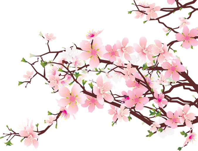 Drawn sakura blossom white background Blossoms Best of Best Cherry