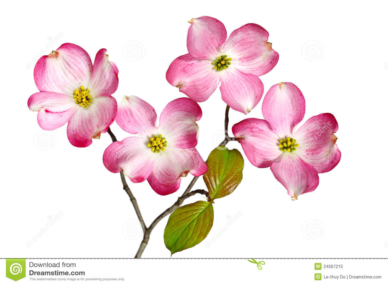 Blossom clipart dogwood tree White Photos Flowers best 24508523