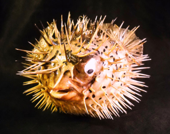 Blowfish clipart large fish 10 Real  Taxidermy Preserved