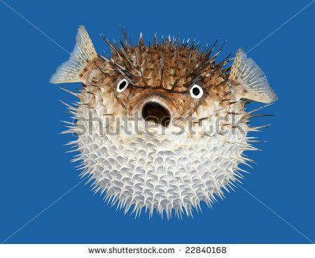 Blowfish clipart stingrays Of view on blue pufferfish/blowfish