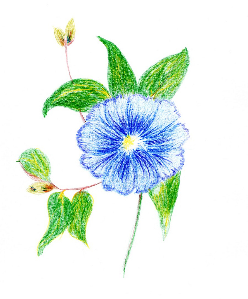 Blue Flower clipart drawing Flickr Ambersky235 by coloured