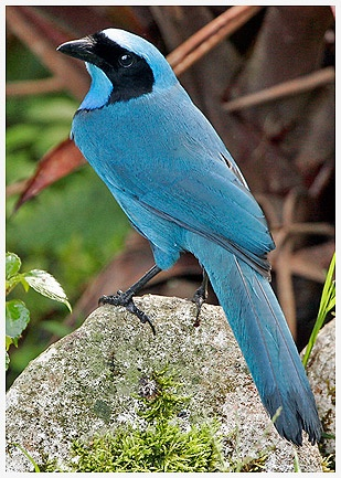 Blue Jay clipart bird face Of Pinterest a The Corvidae