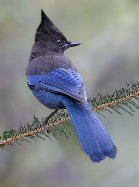 Blue Jay clipart bird face On  25+ best Pinterest