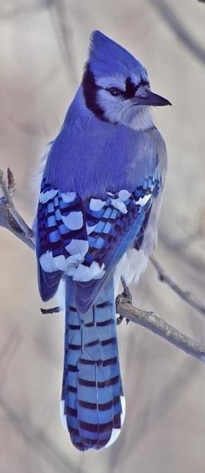 Blue Jay clipart bird face 48 Blue images Jay~ Pinterest