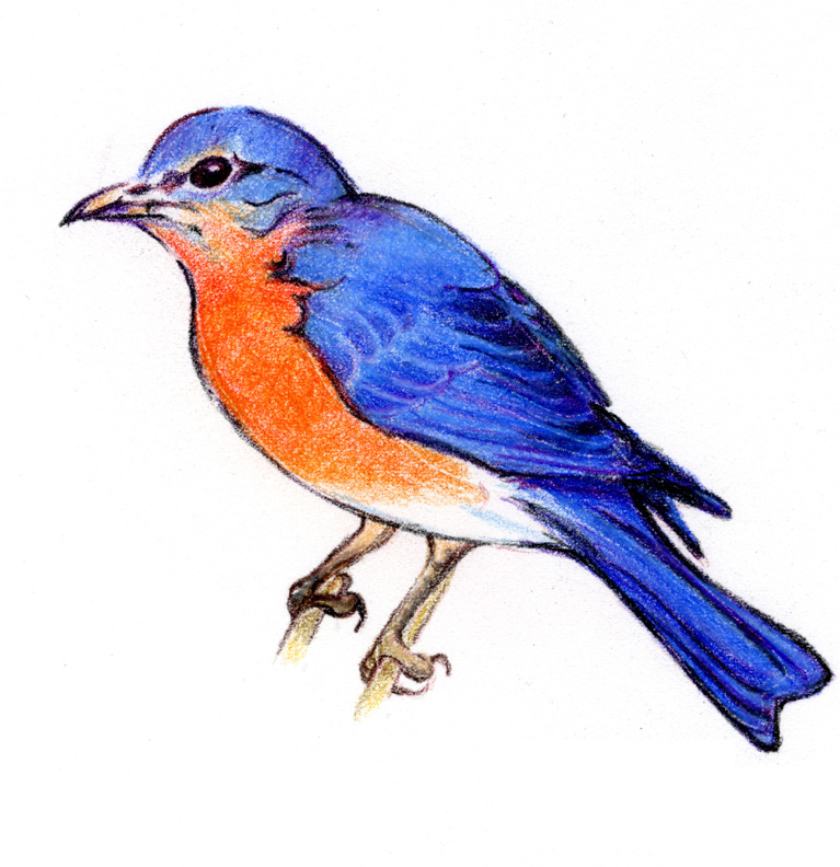 Blue Jay clipart flight drawing Clipart Others Jay Flying Art