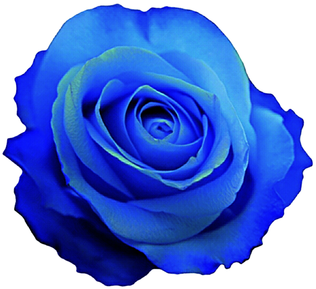 Blue Rose clipart Blue Blue Rose by Gulf