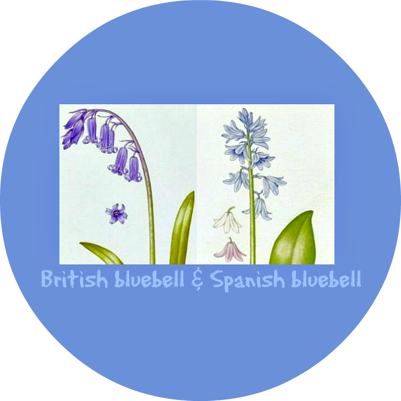 Bluebell clipart british I leave known But generically