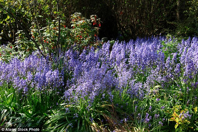 Bluebell clipart british Colonies that  Experts native