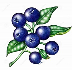 Blueberry clipart blackberry fruit Free Clipart Blueberry Blueberries