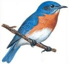 Bluebird clipart Mountain Bluebird Bluebird Free Mountain