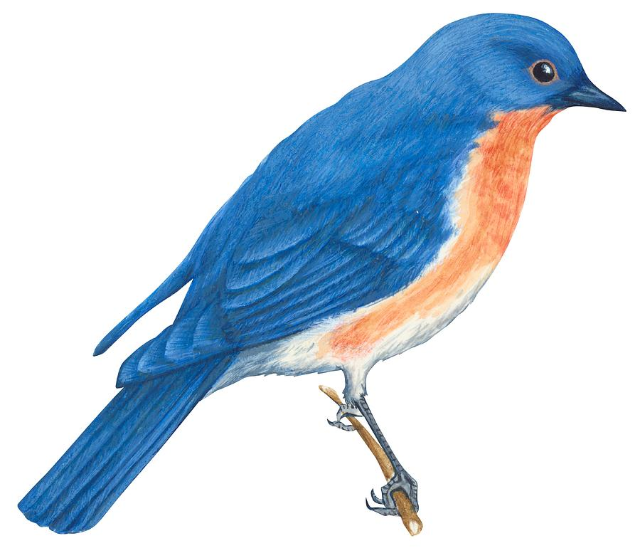 Bluebird clipart robin bird By  Anonymous by Eastern