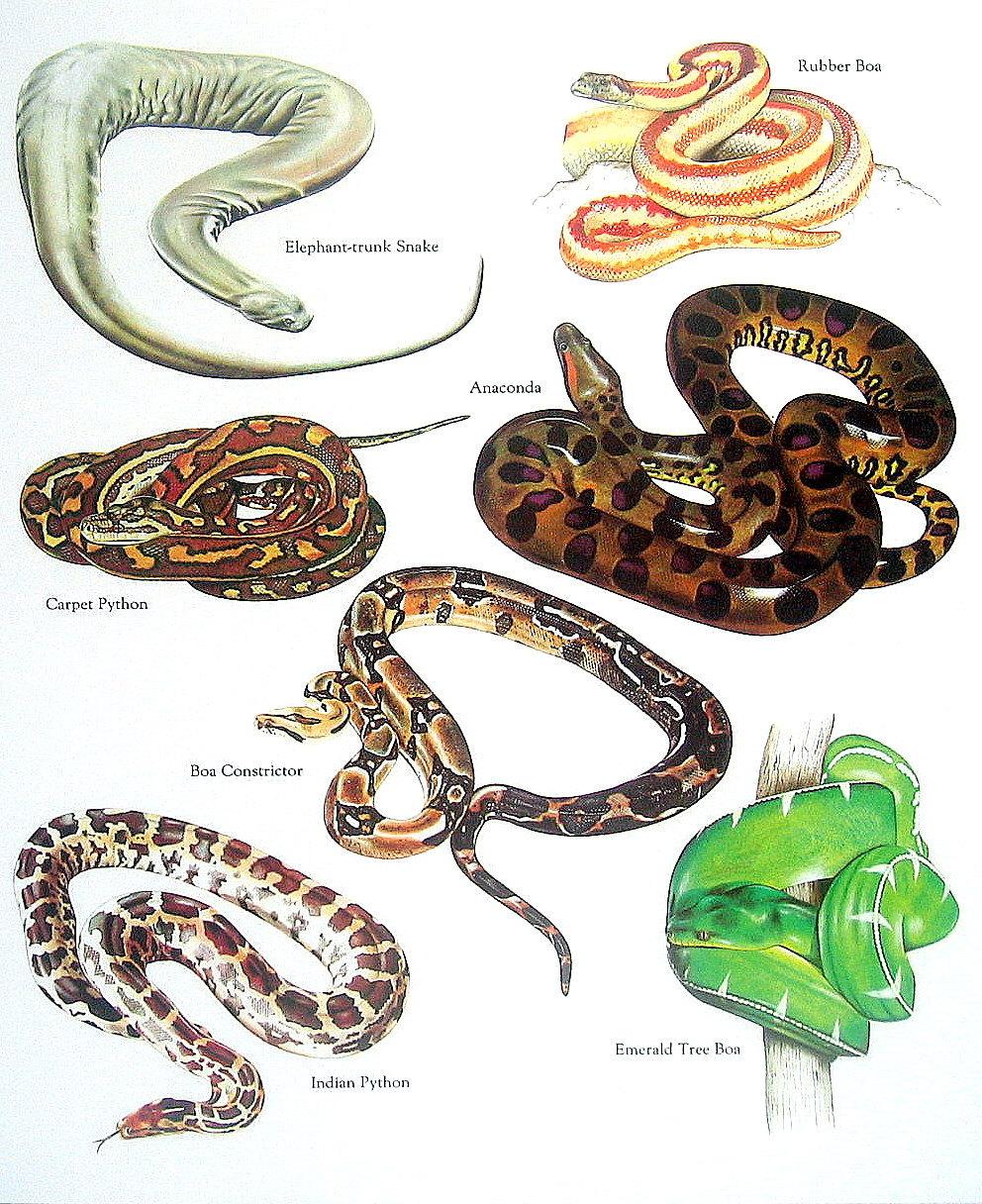 Boa Constrictor clipart viper Carpet Snakes Python Boa Constrictor