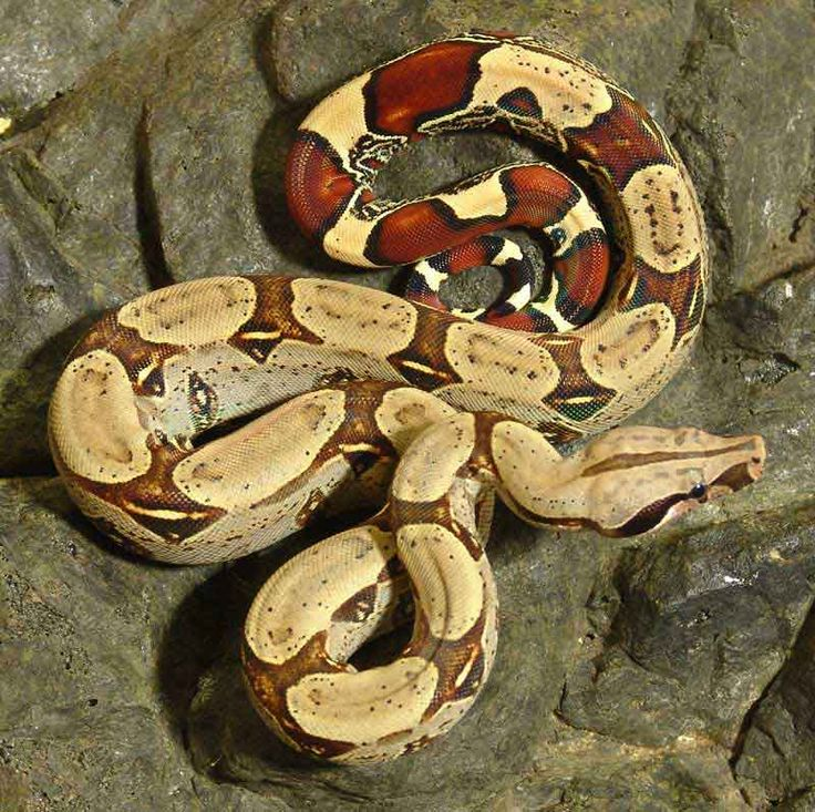 Boa Constrictor clipart pet snake Constrictor tail red images i