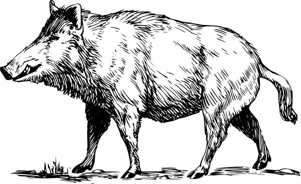 Drawn boar In Boar art clip drawing