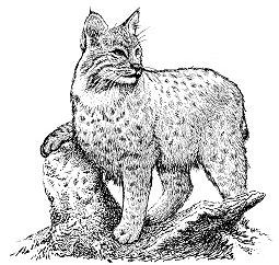 Bobcat clipart Bobcat Clip Bobcat Download Clipart